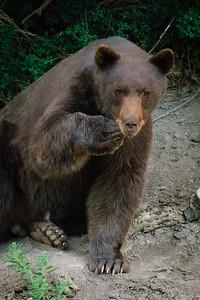 Black Bear-448