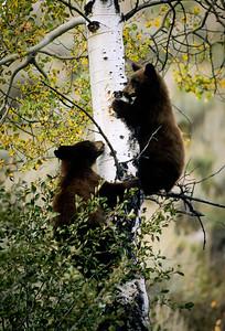 Black Bear-140
