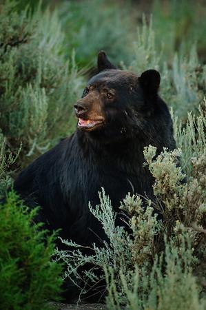 Black Bear-2350