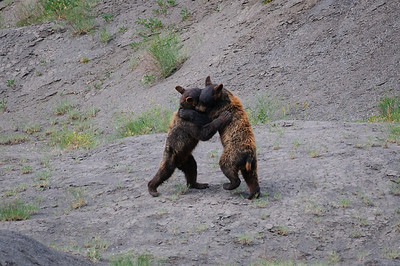Black Bear-4938
