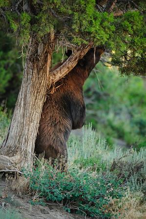 Black Bear-4309