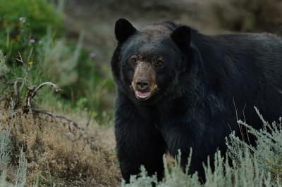 Black Bear-2380