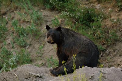 Black Bear-1107