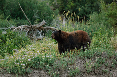 Black Bear-491