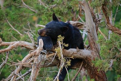 Black Bear-2967
