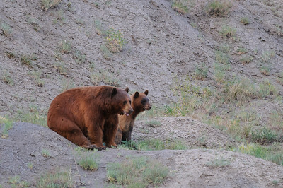 Black Bear-5236