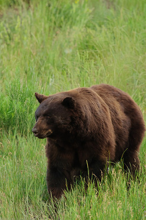 Black Bear-3203