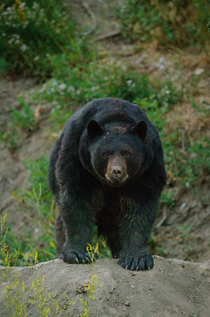 Black Bear-1780