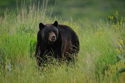 Black Bear-3686
