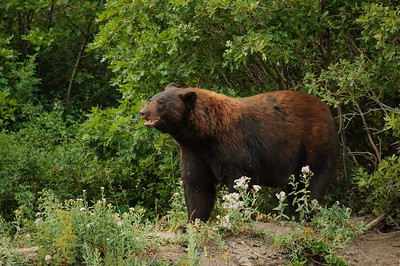 Black Bear-393