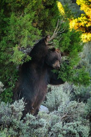 Black Bear-4331