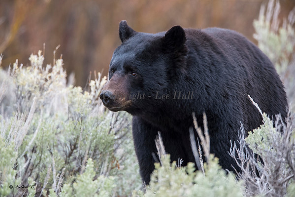 Black Bear, Adult Male