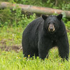 American Black Bear, Alaska Highway, British Columbia