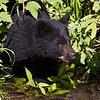 Black Bear cub.   Hyder Alaska