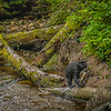 American Black Bear, British Columbia