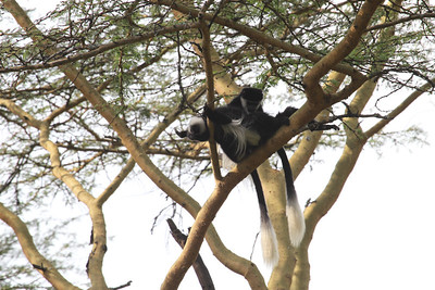 Black-and-white or Guereza Colobus Monkey
