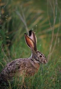 Black-tailed Jackrabbit-812