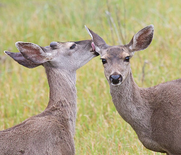 Doe  and Buck Nuzzling 2