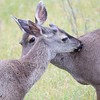 Doe  and Buck Nuzzling