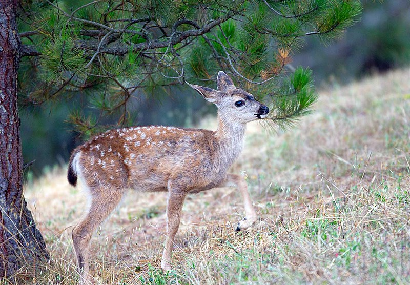 Black tailed Deer Fawn