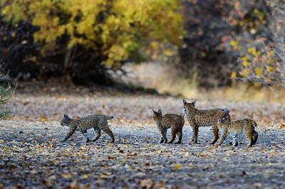 Bobcat, Grand Junction, CO