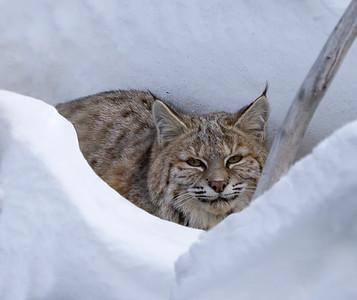 Bobcat on Prey Alert