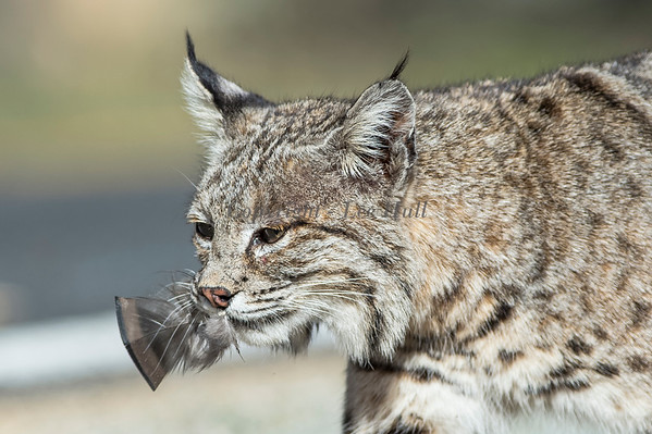 Bobcat with Turkey Feather!