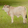 Brahman yearling