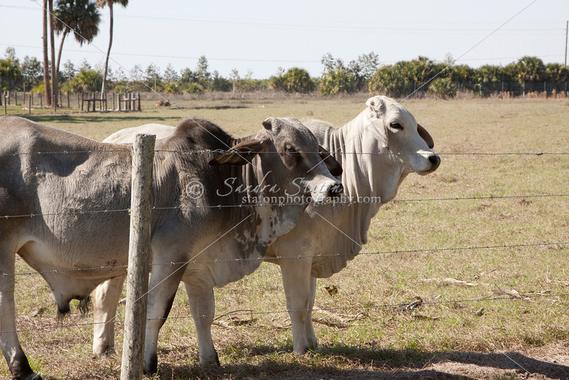 Brahman two year olds