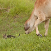 Brahman yearling with cat