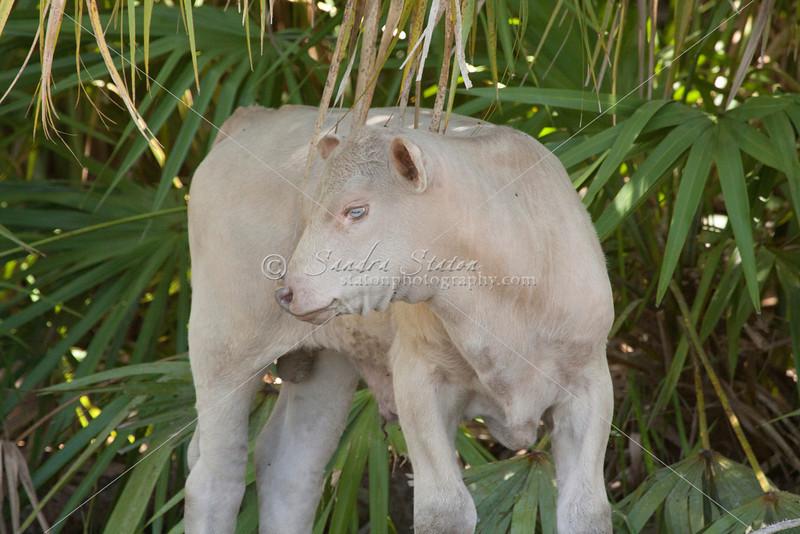 Brahman albino calf_SS092181