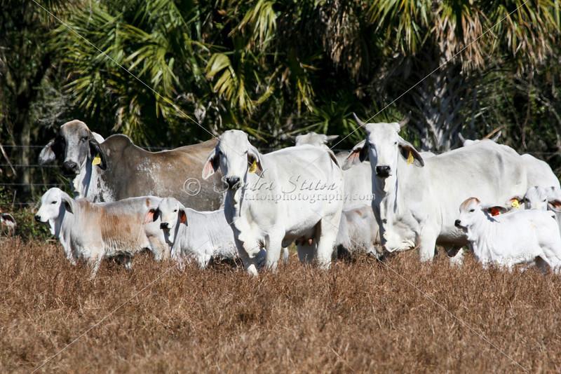 Brahman Cows-Calves_SS096936