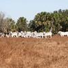 Brahman  Herd_SS096922