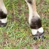 Brahman bow tie hooves