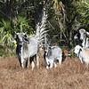 Brahman cattle_SS096935