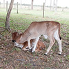 Brahman calves