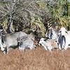 Brahman Cattle_SS096926