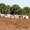 Brahman Cows-Calves_SS096954