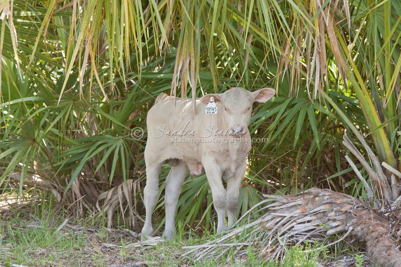 Brahman Albino calf_SS092174