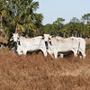 Brahman Cattle_SS096961