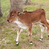 Brahman calf