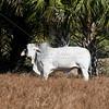 Brahman Bull_SS096903