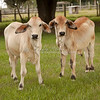 Brahman calves with bow tie feet