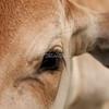 Brahman calf face