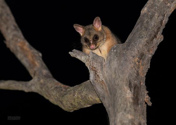 Brush-tailed Possum, Nerang, QLD, Sept 2020-2