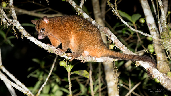 Brush-tailed Possum, Mt Hypipamee NP, QLD, Dec 2014-1
