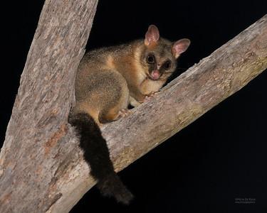 Brush-tailed Possum, Nerang, QLD, Sept 2020-1