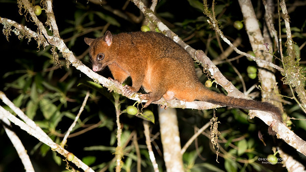 Brush-tailed Possum, Mt Hypipamee NP, QLD, Dec 2014-2