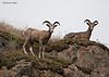 Two immature Rams.