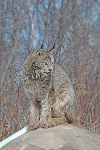 Lynx-07